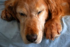 Sleeping Old Dog. A tired golden retriever takes a nap royalty free stock images