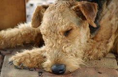 Sleeping old dog Royalty Free Stock Photos