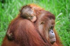 SLEEPING ORANG UTAN royalty free stock photography