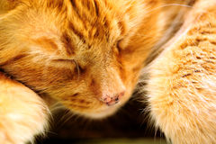 Sleeping Orange Cat Stock Images