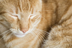 Sleeping orange cat Stock Photography