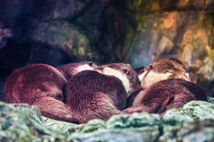 Sleeping oriental small clawed otter Stock Photo