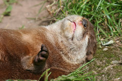 Sleeping Otter. Stock Image