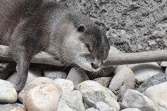 Sleeping Otter. Otter sleeping on shore of a stream Stock Image