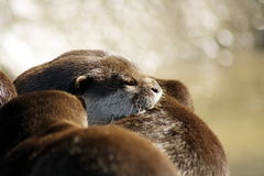 Sleeping otter pup pile Stock Image