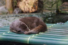 Sleeping Otter Royalty Free Stock Images