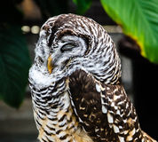 Sleeping Owl Royalty Free Stock Photo