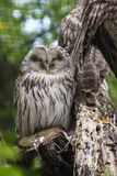 Sleeping owl on a branch stock image