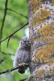 Sleeping owl Royalty Free Stock Photo