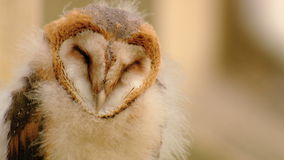Sleeping Owl stock footage