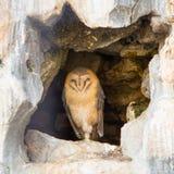 Sleeping Owl Stock Photography