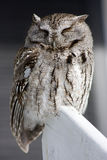 Sleeping Owl Royalty Free Stock Photography