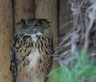 Sleeping Owl. A long eared owl having a snooze Royalty Free Stock Photography