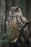 Sleeping owl Stock Image