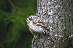 Sleeping owl on a pine bough Stock Photos