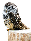Sleeping Owl on Stump Royalty Free Stock Photography