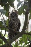 Sleeping Owl in Tree Stock Images