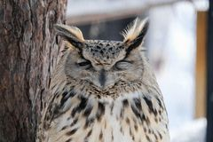 Sleeping owl in the zoo, Hokkaido , Japan. In winter, Cutie Sleeping owl stay under the three. It`s beautiful wildlife of the zoo in Hokkaido , Japan stock image