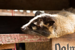 Sleeping palm civet. Stock Image