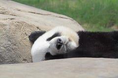 Sleeping Panda Stock Photo