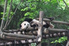 Sleeping Panda Stock Image