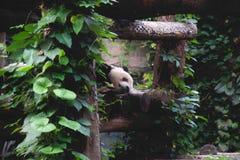 Sleeping panda bear between green leaves royalty free stock photos