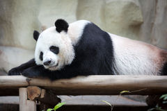 Sleeping panda Royalty Free Stock Images