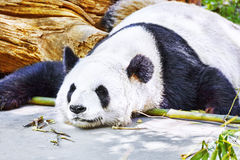 Sleeping panda in its natural habitat. Stock Photo