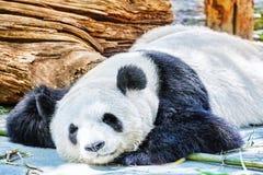 Sleeping panda in its natural habitat. Stock Photography