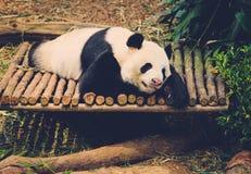 Sleeping panda in its natural habitat. Royalty Free Stock Images