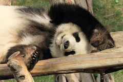 Sleeping panda Royalty Free Stock Photos