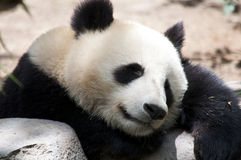 Sleeping Panda Royalty Free Stock Photography