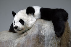 Sleeping panda on the rock Royalty Free Stock Photography