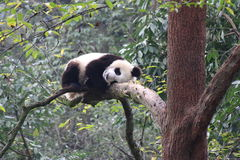 Sleeping Panda on the Tree. At Bifengxia, Y`an Panda Base Stock Image