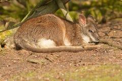 A sleeping parma wallaby Royalty Free Stock Photography