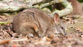 Sleeping parma wallaby Royalty Free Stock Photo