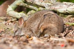 Sleeping parma wallaby Royalty Free Stock Images