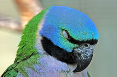 Sleeping Parrot Royalty Free Stock Images