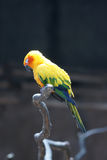 Sleeping parrot (Aratinga solstitialis) Stock Image
