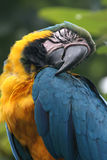 Sleeping parrot, Guayaquil, Ecuador. Beautiful sleeping parrot with yellow & blue plumage, Guayaquil, Ecuador royalty free stock images