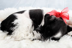 Sleeping Parti Color Miniature Schnauzer Royalty Free Stock Image