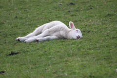 Sleeping Peaceful as a New Born Lamb Stock Images