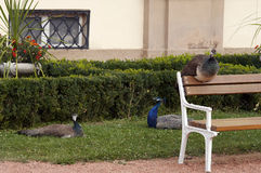 Sleeping peacocks Stock Photo