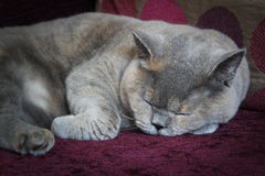 Sleeping pedigree cat Royalty Free Stock Photos