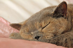 Sleeping pedigree cat on bed Stock Image