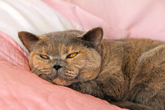 Sleeping pedigree cat on bed Stock Photos
