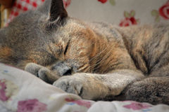 Sleeping pedigree cat Stock Images