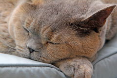 Sleeping pedigree cat Stock Image