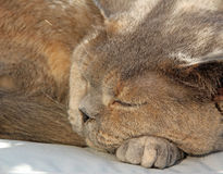 Sleeping pedigree cat Royalty Free Stock Photography