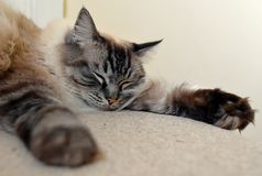 SLEEPING PEDIGREE RAGDOLL Royalty Free Stock Image